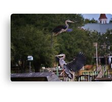 One Great Blue Heron taking Off the Other Landing Canvas Print