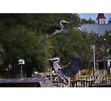 One Great Blue Heron taking Off the Other Landing Photographic Print