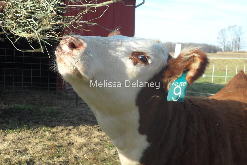 Hereford Heifer by Melissa Delaney