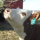 Hereford Heifer by Melissa Delaney