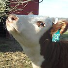 Hereford Heifer by Melissa McKenzie