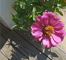 Pink Zinnias grow in Mo's garden 7 by Maureen Zaharie