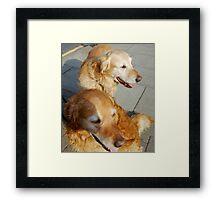Twice as nice - Two Friendly Golden Retrievers Framed Print