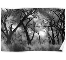 Black and White Cottonwood Trees Poster