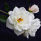 White Rose with a tint of pink by Eleanor Godley