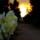 roses at sunset by Susan Rees-Osborne