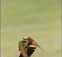 Rainbow Bee-Eater 454 by John Van-Den-Broeke