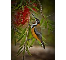 Eastern Spinebill at Cleland Photographic Print