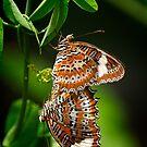 Twin Orange Lacewings by AmeliaC