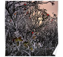 Rose Hips and Frost Poster