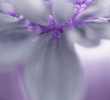 Awashed In Lavender by John  De Bord Photography