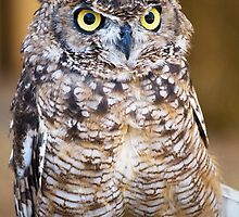 Spotted Eagle-owl (Bubo africanus) by Mauro Rodrigues