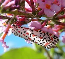 Heliotrope Moth  by Trish Meyer