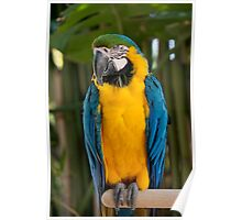 Blue-and-yellow Macaw Poster