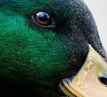mallard duck by Mauro Rodrigues