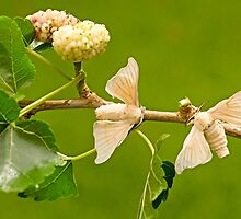 domesticated Silkmoth on a white mulberry branch  by PhotoStock-Isra
