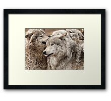 Wolf Pack at Play Framed Print