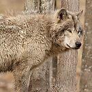 Wolf in Camo by Bill Maynard
