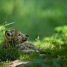 Timber Wolf Pup by Bill Maynard