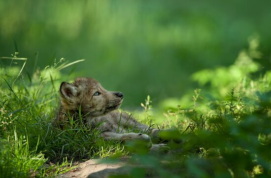 Timber Wolf Pup by Bill Maynard