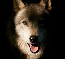 Timber Wolf Portrait by Bill Maynard