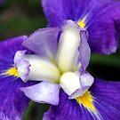 Soft Iris Petals by Deborah Crew-Johnson