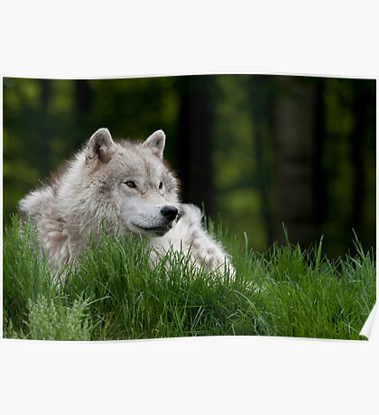 Arctic Wolf in Spring Poster