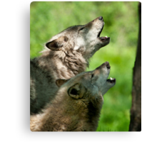 Timber Wolf Howl Canvas Print