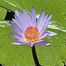 Londolozi lilly by jozi1