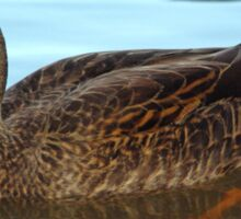 Masked duck paddling - a tranquil reflection Sticker