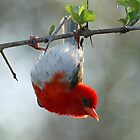 Red headed weaver bird by jozi1