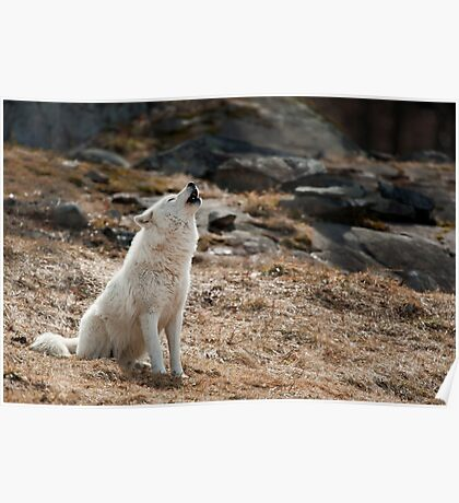 Arctic Wolf Howl Poster