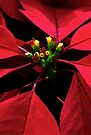 Red Star of Christmas by Renee Hubbard Fine Art Photography
