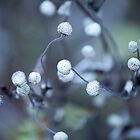 White bunch of cotton flowers by Mel-D