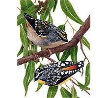 Spotted pardalotes Photographic Print