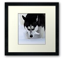 If Looks Could Kill - Black and White Husky Framed Print