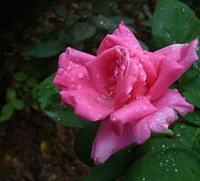 A gorgeous pink rose by Joseph Green