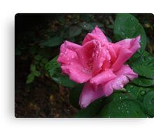 A gorgeous pink rose Canvas Print
