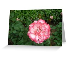 an amazing pink and white rose Greeting Card