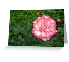 Raindrops softly carressing beautiful pink and white rose Greeting Card