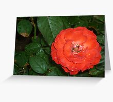 A red rose having a bath Greeting Card