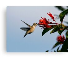Hummingbird with Red Flower Canvas Print