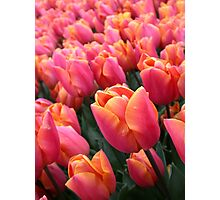 Dutch Vibrant Pink Tulips Field Spring Flowers Holland Photographic Print