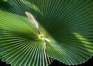 Radial Charm Delight (Licuala Cordata Palm detail) by Kerryn Madsen-Pietsch