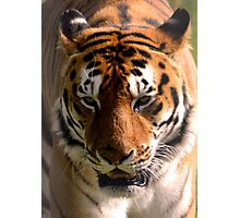 Portrait of a Striped Royal Bengal Tiger of India Photographic Print
