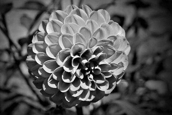 Dahlia - B&W by PhotosByHealy