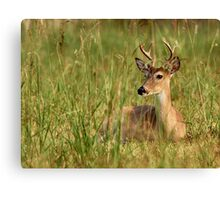 Young Buck Laying in Grass Canvas Print