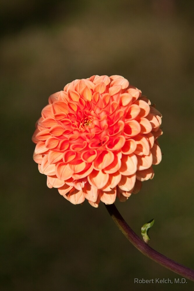 Orange Dahlia in the Halifax Public Gardens by Robert Kelch, M.D.