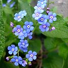 Forget-me-not by Ana Belaj