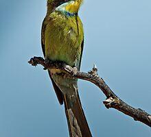 Swallow-Tailed Bee-Eater by Rashid Latiff